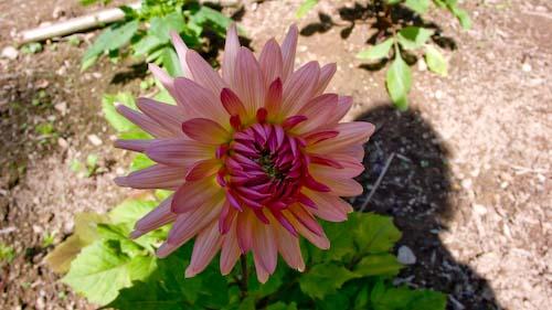 Dahlia bloeit