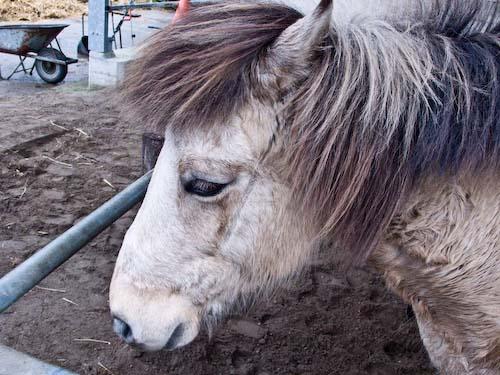 Lief paard