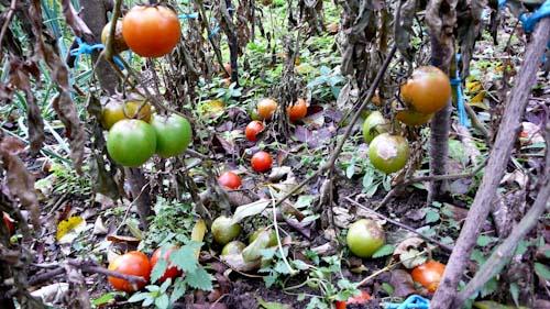 Tomaten zijn eng